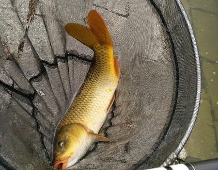終于等到刮風的陰天,解了蓄積已久的毒 化氏餌料釣鰱鳙魚