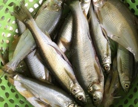 國釣之三夏釣老塘喜獲大鯽魚